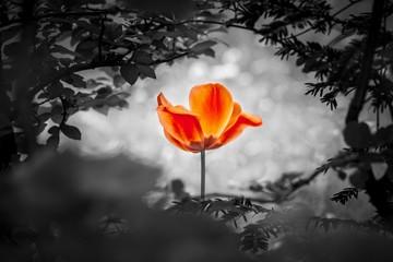 Auferstehung von schöner Tulpe in rot für Frieden Liebe Hoffnung. Die Blume ist Symbol für Stärke von Leben und Seele sowie die Kraft über Trauer und Sorgen als auch die Heilung von Stress und Burnout