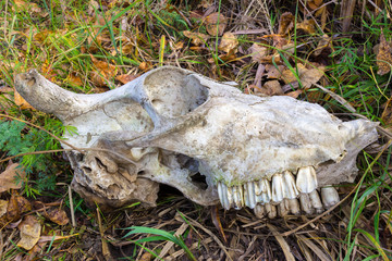 Skull of animal in the forest grass. On the skull visible teeth