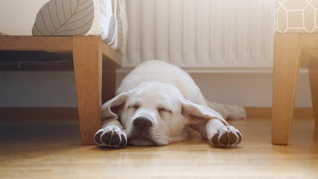 kleiner süßer labrador retriever welpe liegt im Wohnzimmer auf dem Fußboden und schläft