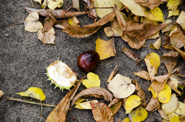 Autumn leaves and chestnut