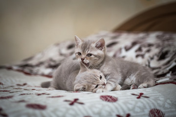 kittens playing at home on the bed