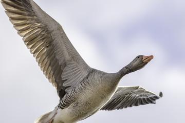 Greylag goose flying overhead