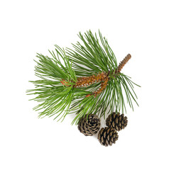 pine tree cones isolated on white background