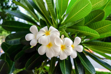 Plumeria White The bloom on a frangipani tree.