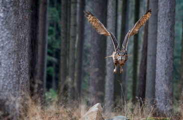Eurasian Eagle Owl (Bubo Bubo) flying in the forest, wildlife photo.
