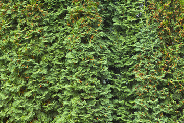 Green Hedge of Thuja Trees (cypress, juniper). Bush, thuja. Thuj
