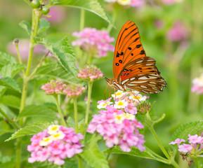 Gulf Fritillary butterfly feeding on coloful Lantana flowers in summer garden