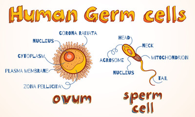 Vector illustration of ovum and sperm cell