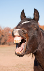 Dark bay horse yawning, looking like he is laughing