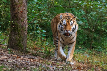 Foto op Canvas Tijger Tiger walking through the forest
