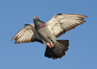 Pigeon flying with open wings, Dove in the air with wings wide open in-front of the blue sky
