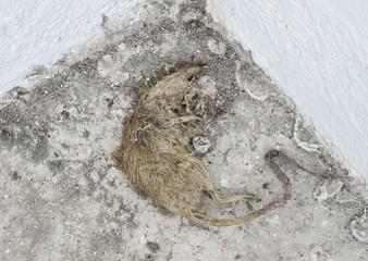 Dead rat carcass