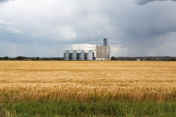 A grain elevator and fields of wheat during a storm on a summer day in Sidney, Montana.