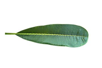 Plumeria leaf isolated on white background.