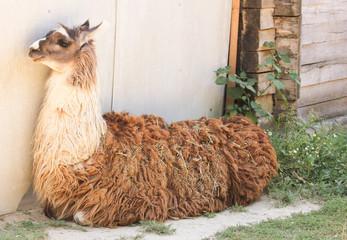 llama at the zoo