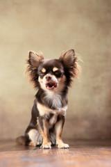 sitzender Langhaar-Chihuahua im Studio