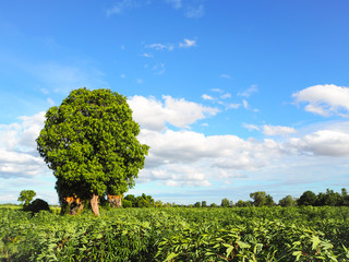 Central cassava plantation trees, sky and clouds brighter.