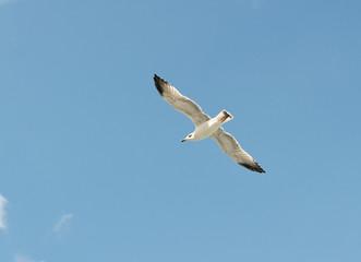 the Marine gull