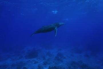 A humpback whale underwater, Megaptera novaeangliae, Pacific ocean, Rurutu, Austral islands, French Polynesia