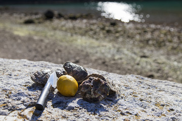 Fresh picked oysters organic lemon mediterranean herbs and special oyster openinig knife on sea coast