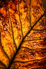 very beautifully illuminated dry, yellow, autumn leaf