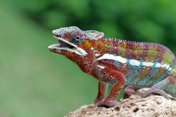 Chameleon sitting on rock, Indonesia