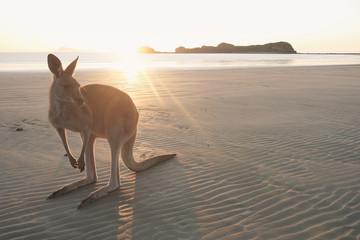 Foto op Aluminium Kangoeroe Wallaby am Strand auf Cape Hillsborough, Queensland in Australien