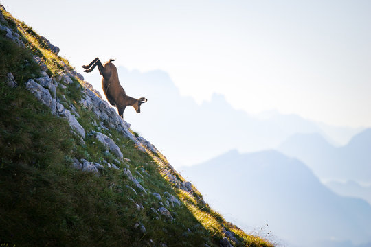 Chamois goat running down mountain, Alps, Salzburg, Austria