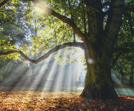 Solitary ancient oak with awesome sunbeams