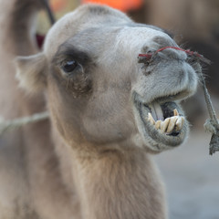 Close-up of a camel at Mingsha Shan, Dunhuang, Jiuquan, Gansu Pr