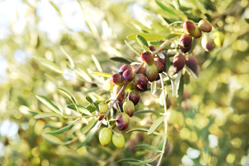 Olives on the tree against blue sky. Selective Focus.branches of olives