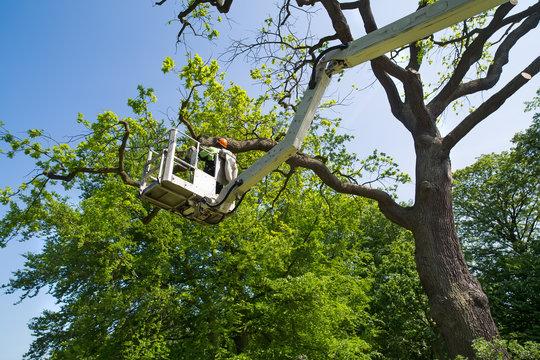 Gardener or tree surgeon pruning a tree.