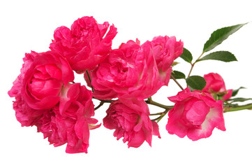 Beautiful pink roses on a white background.