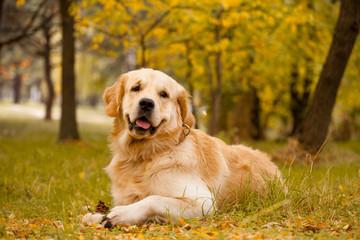 Cute golden retriever in the autumn  park