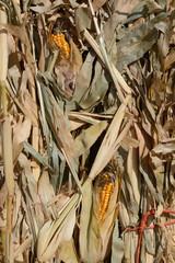 Autumn scene of dried corn stalks with corn