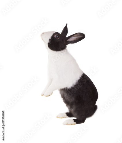 Dutch Dwarf Rabbit Standing On Its Hind Legs Isolated On White