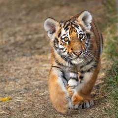 Tiger cub portrait. Tiger playing around (Panthera tigris)