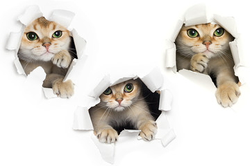 Set of one funny cat peeking out of torn paper isolated on white background
