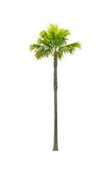 Palm tree isolated on white background. This has clipping path.