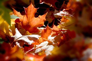 Blur sun ray autumn maple leaf in a garden