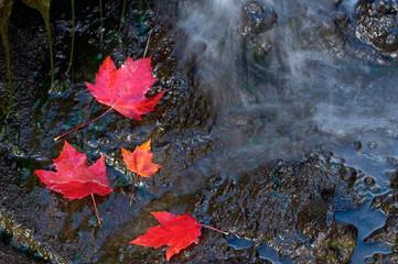 Three Red Maple Leaf on Dark Rocks