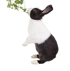 Dutch dwarf rabbit eating parsley standing on its hind legs and