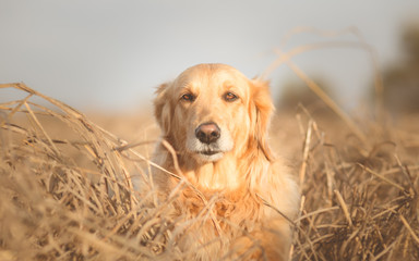 Portrait of Golden retriever dog in nature