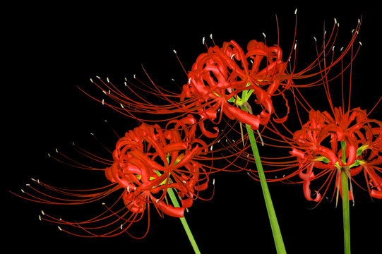 Beautiful red spider lily flowers, or Lycoris radiata, isolated on black background