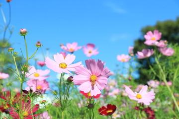 コスモス畑と蜂