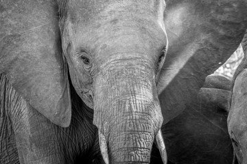Close up of an Elephant head in black and white.