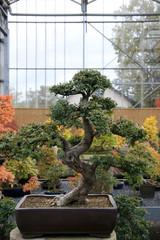 Bonsai /  Tree in the form of bonsai garden in Switzerland