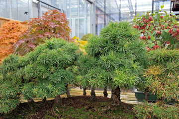 Pines forest / Bonsai Forest of miniature pines in greenhouses in Switzerland