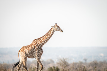 Giraffe walking in the bush.