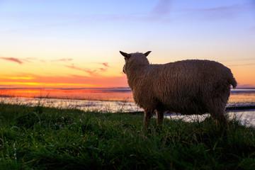 Schaf auf dem Deich in der Abenddämmerung